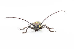 Long antennae beetle. Isolated on white background Stock Images