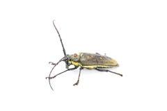 Long antennae beetle. Isolated on white background Royalty Free Stock Photos