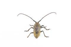 Long antennae beetle. Isolated on white background Royalty Free Stock Image