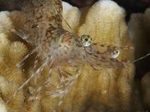 Long arm prawn stock images