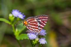 Long-banded Silverline butterfly Royalty Free Stock Image