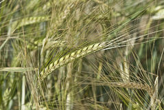 Long barley spikes. Stock Image