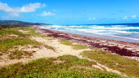 Empty Barbados beach covered in seaweed Royalty Free Stock Photography