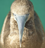 Long beak. Close up of young booby bird. Lots of details of the eyes, feather and beak Royalty Free Stock Image