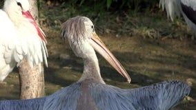 Long beak birds stock video