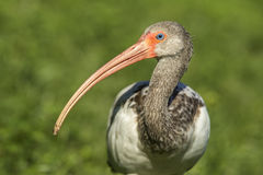 Long beak of a young white ibis. A close up of a juvenile American white ibis and its long beak in Deland, Florida Stock Image