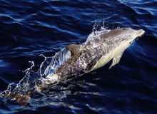 Long Beaked Common Dolphin. A long beaked common dolphins glides through the waters of the Pacific Ocean Stock Images