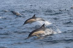 Long-beaked Common Dolphins stock images
