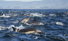 Long-Beaked Common Dolphins. A pod of long-beaked common dolphins race through the water of Monterey Bay, California Royalty Free Stock Images