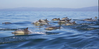 Long-Beaked Common Dolphins. A pod of long-beaked common dolphins race through the water of Monterey Bay, California Royalty Free Stock Photography