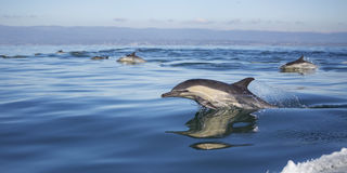 Long-Beaked Common Dolphins Stock Photo