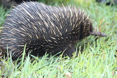 Long beaked echidna stock photo