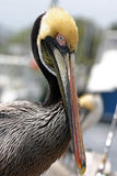Long Beaked Pelican Royalty Free Stock Images