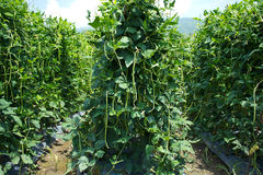 Long bean farm Royalty Free Stock Photos