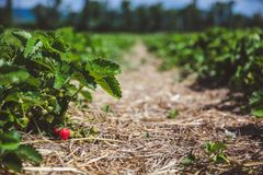 Long beds of strawberry field with fresh red strawberries stock photos