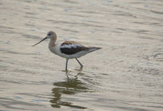 Long Billed Bird in the water Royalty Free Stock Photography