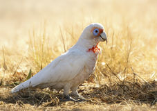 Long-billed Corella (Cacatua tenuirostris) Stock Image