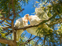 Long billed corella chick being fed by parent bird Royalty Free Stock Images