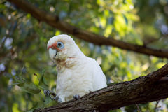Long-billed Corella with twig royalty free stock photo