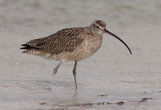 Long-billed Curlew Royalty Free Stock Photography