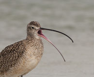 Long-billed Curlew Stock Image