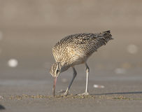 Free Long-billed Curlew Stock Photography - 13877602