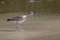 The Long-billed Curlew. Numenius americanus, is a large North American shorebird of the family Scolopacidae Stock Image