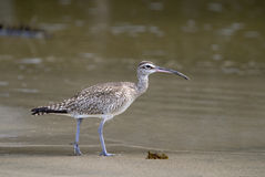 The Long-billed Curlew. Numenius americanus, is a large North American shorebird of the family Scolopacidae Royalty Free Stock Image