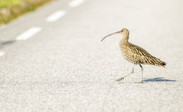 Long-billed Curlew Royalty Free Stock Photos