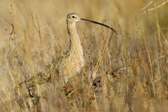Free Long Billed Curlew Royalty Free Stock Photo - 9209035