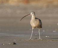 Long-billed Curlew on beach