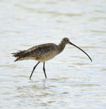 Long-Billed Curlew Bird Stock Photo