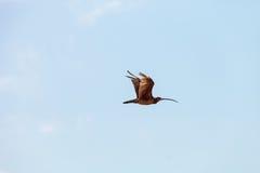 Long-billed curlew bird Numenius americanus flies over a marsh i Royalty Free Stock Image