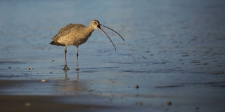 Long Billed Curlew Stock Images