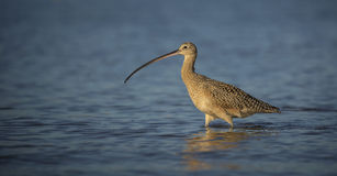 Long Billed Curlew Royalty Free Stock Photo