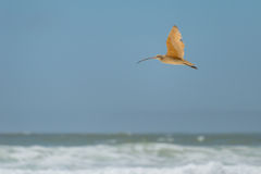 Long-billed Curlew in flight Stock Image