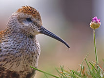 Long-Billed Curlew & Flower Stock Photo