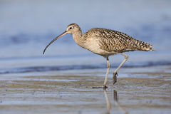 Long-billed Curlew foraging at the edge of an estuary Stock Photos