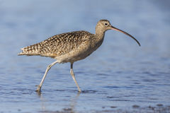 Long-billed Curlew foraging in a river estuary - Monterey Penins Stock Photography