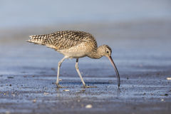 Long-billed Curlew foraging in a river estuary - Monterey Penins Stock Image