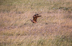 Long-billed Curlew #1 Royalty Free Stock Images