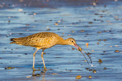 Long-Billed Curlew Royalty Free Stock Image