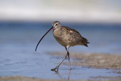 Long-billed Curlew (Numenius americanus) Royalty Free Stock Images