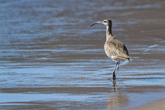 The long-billed curlew -Numenius americanus Royalty Free Stock Photos