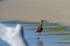 The long-billed curlew -Numenius americanus Royalty Free Stock Photography