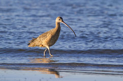 Long-billed curlew (Numenius americanus) foraging in shallow water Royalty Free Stock Photo