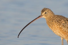 Long-billed Curlew (Numenius americanus) Stock Photo