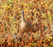 Long-billed Curlew(Numenius americanus) in the Grass. A Curlew bird camouflaged in the Grass royalty free stock images
