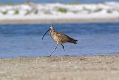 Long-billed Curlew (Numenius amreicanus) Stock Images