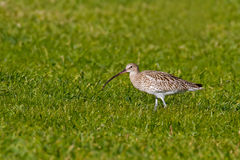 Long-Billed Curlew (Numenius arquata) Royalty Free Stock Photography